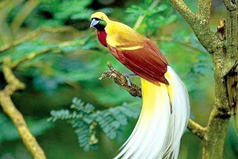 Gambar: Burung Cendrawasih merupakan burung khas dari daerah Papua (Foto: satwa.net)