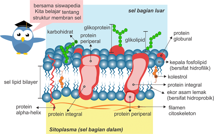 Struktur Membran Sel Lipid Bilayer