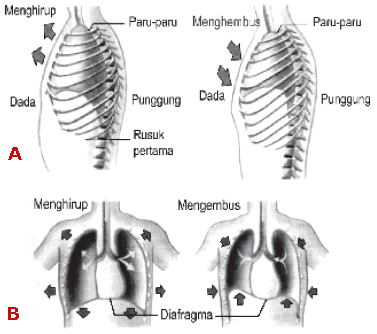Pernapasan dada dan perut