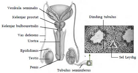 Sel Leydig memproduksi testosteron yang mengatur spermatogenis.