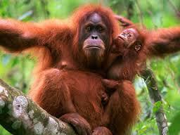 Orang utan merupakan hewan vertebrata kelompok mamalia