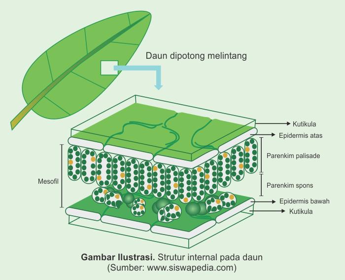 Fungsi dan Gambar Struktur Daun Tumbuhan